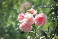 100Pcs Pink Oleander Fresh Seeds Fragrant Flowers Perennial Summer Home Garden