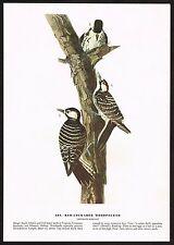 1930s Original Vintage Audubon Red Cockaded Woodpecker Bird Art Print
