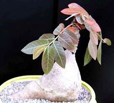 Phyllanthus Mirabilis, Caudiciform Phyllanthodendron caudex bonsai seed -5 SEEDS