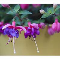 25 Samen Fuchsia magellanica Scharlachfuchsie winterharte Freilandfuchsie