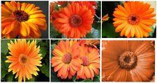 Gerber Daisy Bright Peach Orange Colored Annual Flowers      25 Seeds