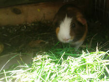Timothy Hay Seeds - Organic -Easy to Grow Treat for Your Guinea Pig- 1 oz. Seeds