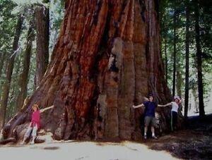 ► winterharter Riesen-Tannenbaum Bergmammut über 100 Meter hoch / Samen