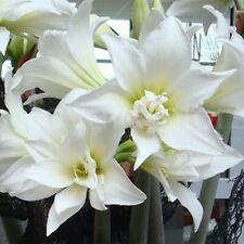 1 Amaryllis Bulbs Hardy Perennial Hippeastrum Plant Flowers Blue Yellow White
