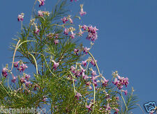 50 Seeds, Catalpa chilopsis linearis, Orchid of Desert Purple Flower Willow Tree