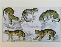 Vintage engraving big cats Wild animals Jaguar leopard big game species picture