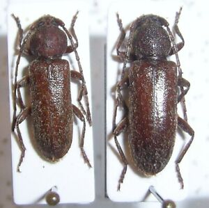 Cerambycidae: Trichoferus spartii