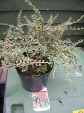 COTONEASTER HORIZONTALIS Low Shrub Semi Evergreen Variegated Berries 3L Potted