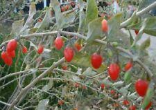 "Lycium barbarum ""Bacche di Goji"" 3 piante in vaso ø9 cm"