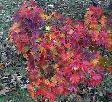 Korean Maple - Acer pseudo-sieboldianum - 20 Seeds - Bonsai or Landscape