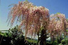 1 Blauregen in rosa, veredelte Glyzinie 100 - 150 cm jetzt