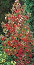 Sweet Gum Red Tree 9L Pot Liquidambar Styraciflua 3 Year Old 1.4m