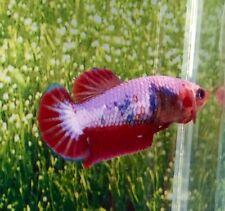 Thai Import Multicolor Sorority Breeder Female HMPK Halfmoon Plakat Betta Fish