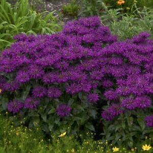 MONARDA 'GRAPE GUMBALL' - BEEBALM - STARTER PLANT - APPROX 4-6 INCH