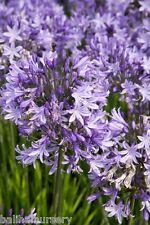 New Agapanthus Pretty Sandy ® light violet-blue flowers garden perennial plant