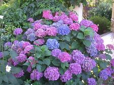 7 Mophead Hydrangea macrophylla pinks/mauves/blues garden plant pot