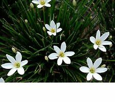Live Plants 10 Rain Lily Lilies Bulbs Zephyranthes Candida - White