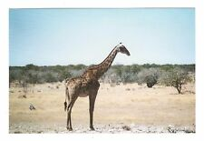 Vintage Photo Giraffe African Safari 1990's May17