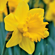 Daffodil Bulbs Narcissus 'Golden Harvest' x 50 Early Spring Flowering Bulbs