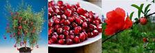 winterharter Granatapfel-Baum Deko für Haus & Garten - köstlich & gesund - Samen