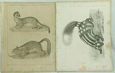 Vintage Mammals Prints Plate Iii Xxix Squirrel Explorations and Surveys Art Lot