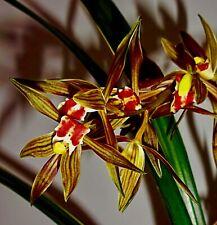 Cymbidium Species ´Red Spot Stripes´ blühstark Japan Orchidee Orchideen