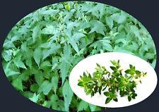 NETTLE & Thyme TEA (10) ORGANIC HERBAL Teabags boost immune system naturally