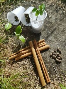Fresh Cinnamon 10 Seeds Tree bark spice tropic bake curry cinnamomum zeylanicum