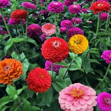 200 Mixed Colors California Giant Zinnia Elegant Flower Seeds + Home Decor Gift