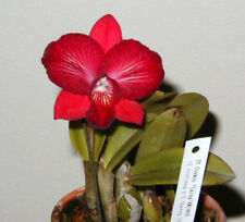Pink Splashed Miniature Cattleya Awarded Mericlone orchid plant