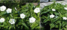 Morning Glory Vine White Perennnial Wild Flowers  25  SEEDS 4 U TO PLANT