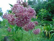 Asclepias Incarnata Pink Milkweed Cinderella Monarch Host Plant Hardy Cut Back