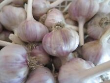 "Garlic ""Ljubasha"" seeds 50 cloves/Planting now"