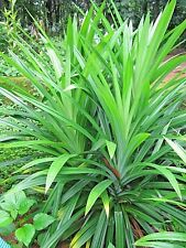 Super Large Pandan fragrant Leaves Pandanus amaryllifolius live Plant Fresh!