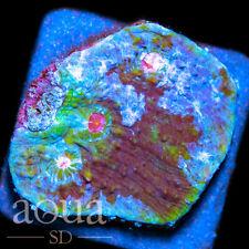New listing Asd - 027 Outspace Cupcake Chalice - Wysiwyg - Aqua Sd Live Coral Frag