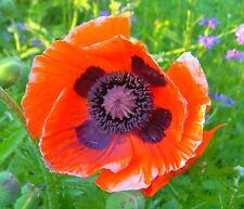 POPPY ORIENTAL BRIGHT ORANGE SCARLET 200 seeds PERENNIAL POPPY cottage garden