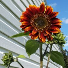 50 SEMI GIRASOLE EVENING SUN 2019 helianthus annus seeds samen semillas graines