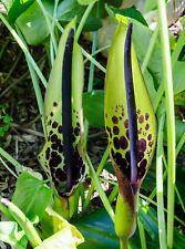 Arum Arum dioscoridis Spotty Arum Perennial Potted Plant