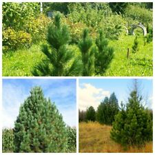10Pc Cedar Coniferous Tree Seeds Perennial Evergreen Beautiful Plant Home Garden