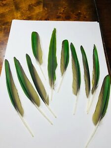 LOT OF 10 GREEN CONURE FEATHERS TAIL & WING GREAT FOR CRAFTS
