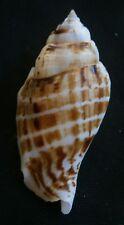 Strombus  gibberulus  gibbosus   50.8mm F+++,, seashell ,,Philippines