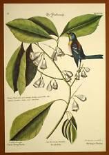 Gravure Ornithologie Oiseau LA MESANGE PINSON