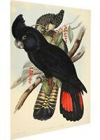 John Gould Black Cockatoo Vintage art Poster Print canvas painting Australia