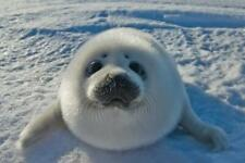 Baby Arctic Seal In Canada Photo Art Print Poster 24x36 inch