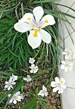 3 small Dietes Butterfly iris (Dietes iridioides) plant/seedling, perennial,