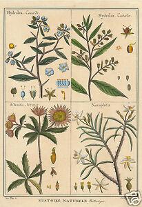 Edizioni Fiorella Falteri Florence handcolored print Histoire Naturele botanical