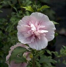 "Pink Chiffon â""¢ Hibiscus syriacus - Rose of Sharon - Proven Winner - 4"" pot"