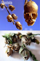Antirrhinum Majus Seeds dwarf Common Snapdragon Flower Garden Bonsai 100pcs/Bag