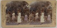 Foto Cuba Plantation Banane Colorati Stereo Vintage Albumina 1900