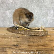 #22204 E+ | Muskrat Life-Size Taxidermy Mount